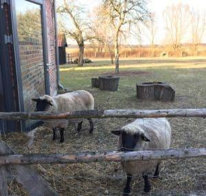 Kaurztrip Deutschland Kind Schafe